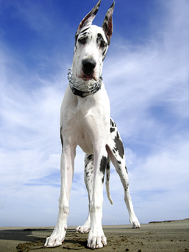 Német dog alulról fotózva