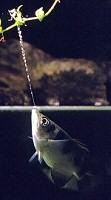 Jávai lövőhal: a rovargyilkos mesterköpész