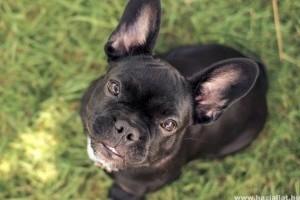Tyson füle viszket - kutya fülatka kezelése