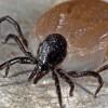 Kullancsűző: Lyme-kór és a babesia