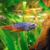 Az akvárium zöldsége: Paradicsomhal