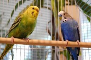 Rács mögött, avagy hogyan ne tartsunk otthon hullámos papagájt!