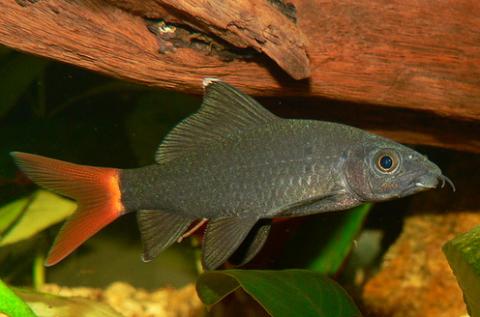 Stendhal-hal: vörös és fekete...