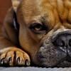 Mikor kell a kutyának sürgős pedikűr?