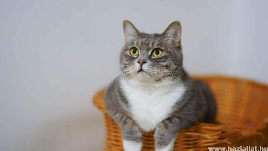 Túlsúlyos a cicád? Tippek a macska diétához