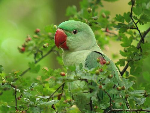 Nagysándor papagáj a lombok között