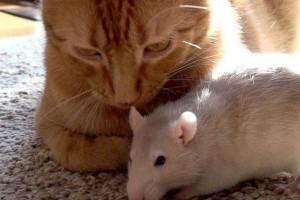 Nem hittünk a szemünknek: létezik barátság patkány és cica között?