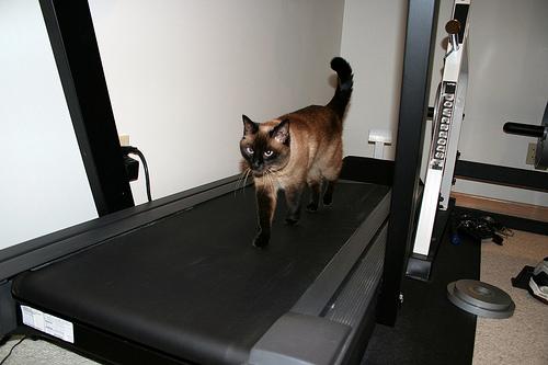 macska a futógépen