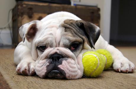 bulldog-kennel