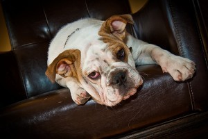 To Love Till Craziness Angol Bulldog Kennel