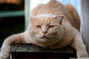 Kandúr macska ivartalanítása - videón