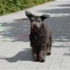Pumi: vakmerő, bátor és jó szimatú kutyafajta