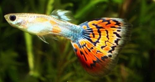 Szivárványos guppi: a kezdők hala izgalmas nemi életet él