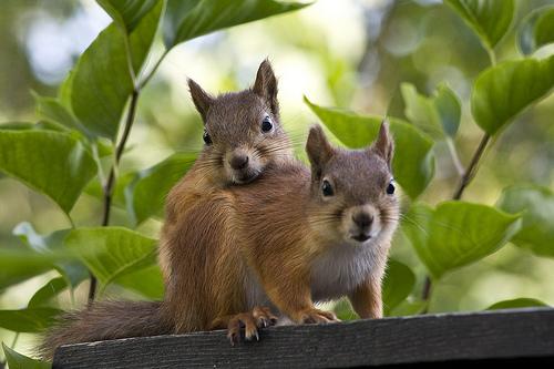 szerelmes mókusok