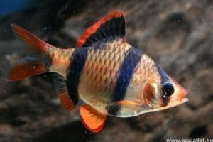 Élénk, kötekedő hal a szumátrai díszmárna
