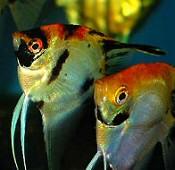 Vitorláshal, az Amazonas királynője