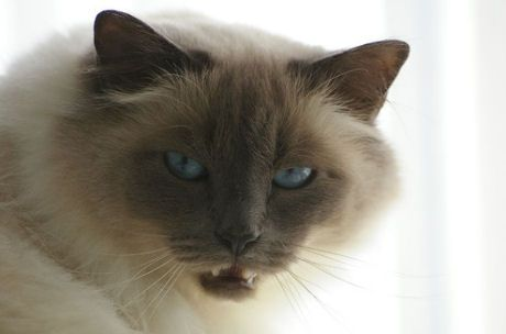 kandúr macska ivartalanítása