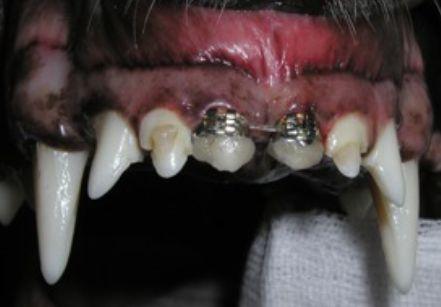A kutyák fogszabályozása