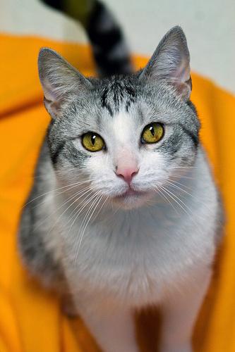 szurke-feher-cica