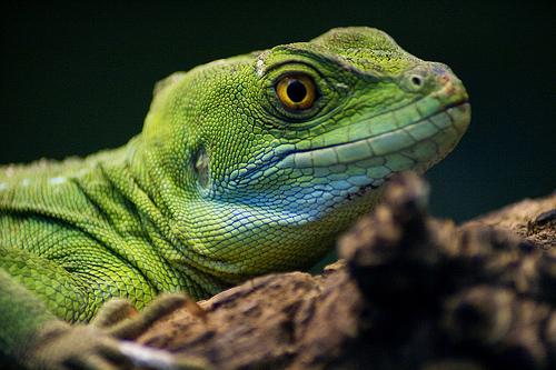 zöld gyík nyitott szemmel