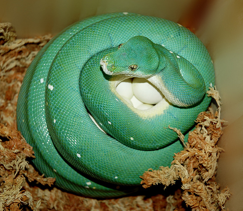 kígyó tojások