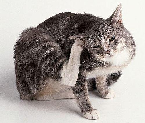 Macska vakarózik