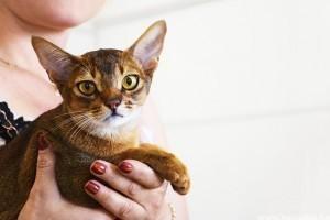 Macska fültisztítás 5 lépésben