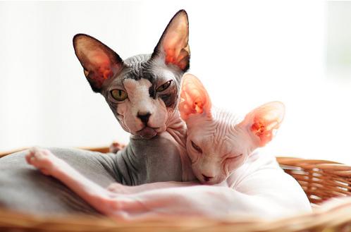 szfinx macskák, szfinx cicusok