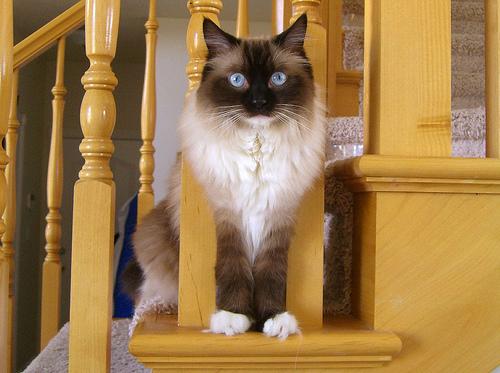 ragdoll macska ül a lépcsőn