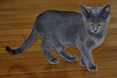 karthauzi macska a padlón áll
