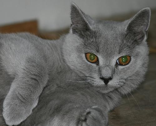 karthauzi cica fekszik