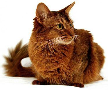 szomáli macska