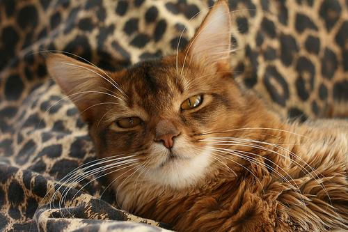 szomáli cica