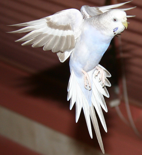 Papagáj röptetés szobában