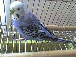 hullámos papagáj kalitkában ül