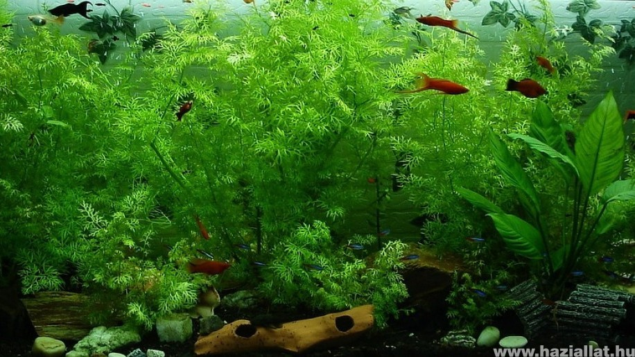Édesvízi akvárium kialakítása lépésről lépésre