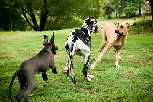3 német dog játszik