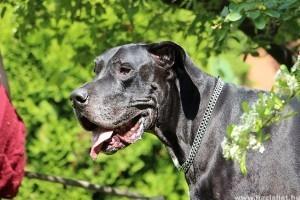 Gyomorcsavarodás kutyáknál végzetes lehet!