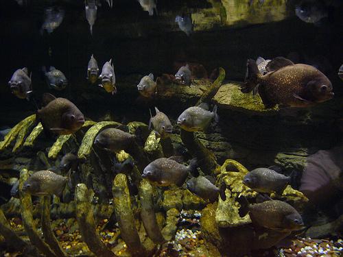piranha raj