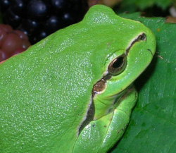Zöld levelibéka (Hyla arborea)