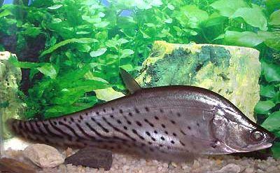 Bohóc késhal (Notopterus chitala)