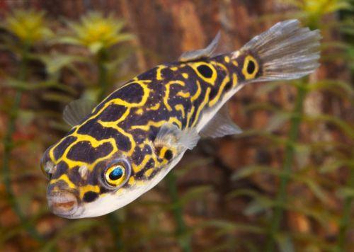 Palembang gömbhal (T. biocellatus)