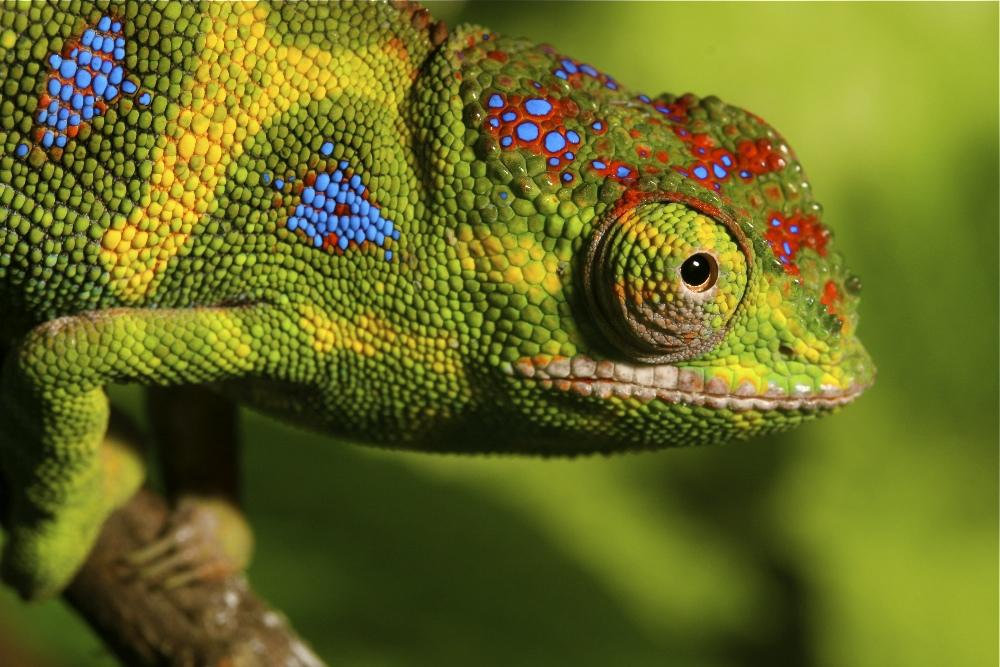 madagaszkári kis kaméleon