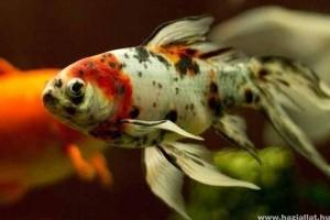 Tényleg megbetegedhet az élő eleségtől a hal?