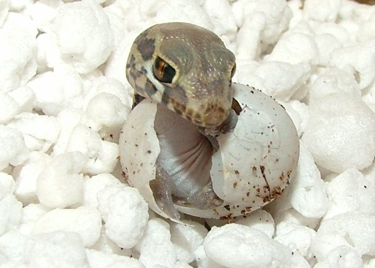 kígyó kibújik a tojásból
