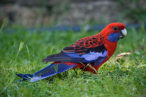 Pennant papagáj