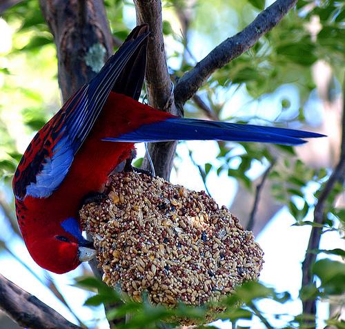 Pennant papagáj táplálkozik