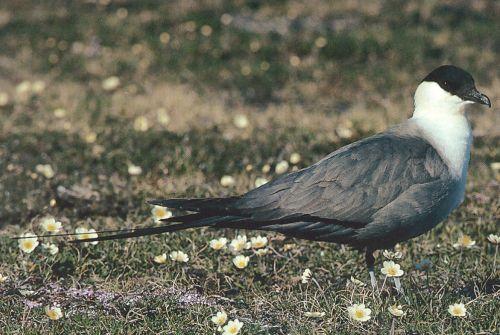 Nyílfarkú halfarkas (Stercorarius longicaudus)