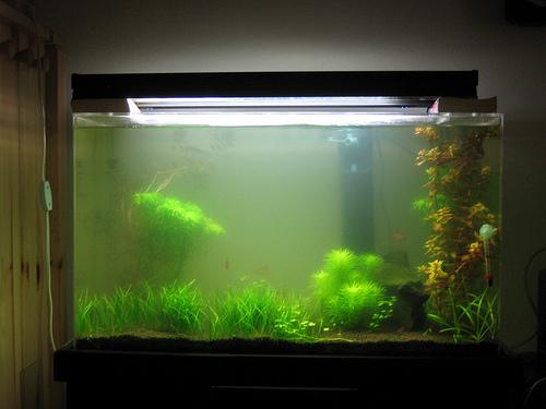 algás vizű akvárium