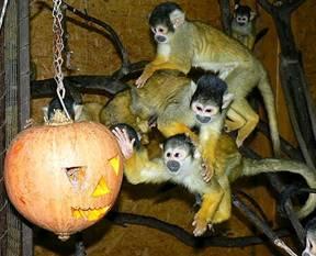 Majom Halloween játék